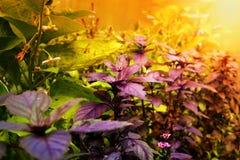 Albahaca púrpura en un prado en los rayos de la puesta del sol Imagenes de archivo