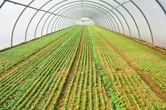 Albahaca que crece en invernadero o verdor Foto de archivo