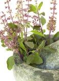 Albahaca santa del remedio de Ayurvedic Imagen de archivo