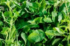 Albahaca santa orgánica fresca Foto de archivo