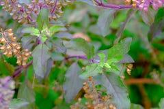 albahaca santa roja y flor santa de la albahaca foto de archivo