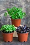 Albahaca verde, albahaca roja, perejil Imágenes de archivo libres de regalías
