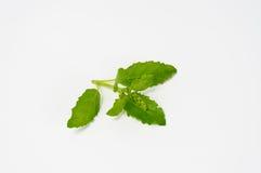 Albahaca verde fresca de la hoja En el fondo blanco Fotos de archivo libres de regalías