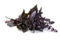 Albahaca violeta fresca Imagen de archivo libre de regalías
