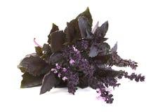 Albahaca violeta fresca Foto de archivo libre de regalías