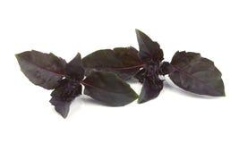 Albahaca violeta fresca Imágenes de archivo libres de regalías