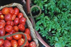 Albahaca y tomates Imagen de archivo libre de regalías