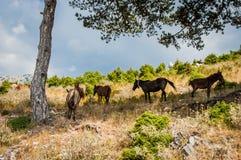 Albanien vildhästar 2016 i deras naturliga livsmiljö Arkivbild