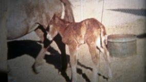 ALBANY, NY Les ETATS-UNIS - 1953 : Le cheval nouveau-né de poulain et sa mère apprécient la vie gratuite de la ferme banque de vidéos