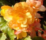 Albaricoque Begonia Close Up amarilla Fotografía de archivo libre de regalías
