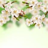 Albaricoque de la primavera. Imagenes de archivo
