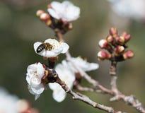 Albaricoque del flor Imágenes de archivo libres de regalías