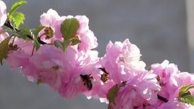 Albaricoque floreciente abejas Cierre para arriba Cámara lenta almacen de metraje de vídeo