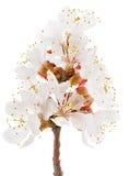 Albaricoque floreciente de la ramita Fotos de archivo libres de regalías