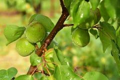 Albaricoque - frutas inmaduras - después de la lluvia de primavera fotografía de archivo libre de regalías