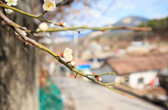Albaricoque japonés Foto de archivo libre de regalías