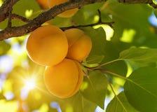 Albaricoquero con las frutas Imagen de archivo libre de regalías