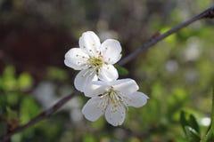 Albaricoquero floreciente con las cubetas blancas y rosadas imagen de archivo