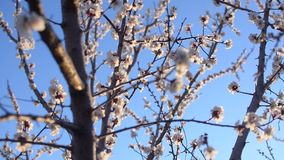 Albaricoquero floreciente hermoso contra el cielo azul metrajes