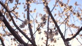 Albaricoquero floreciente hermoso contra el cielo azul iluminado por el sol metrajes