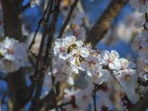 Albaricoquero y abeja florecientes agradables Fotografía de archivo libre de regalías