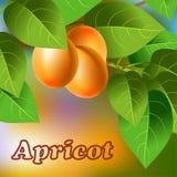 Albaricoques anaranjados, jugosos, dulces en una rama para su diseño Vector Fotos de archivo libres de regalías