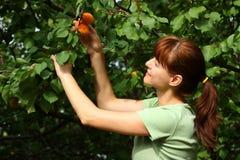 Albaricoques de la cosecha de la mujer Foto de archivo