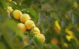 Albaricoques en la rama de ?rbol, cosecha de la fruta del verano, fondo natural, foco selectivo imagenes de archivo