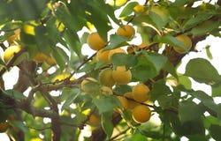 Albaricoques en la rama de ?rbol, cosecha de la fruta del verano, fondo natural, foco selectivo imagen de archivo libre de regalías