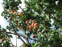 Albaricoques en un árbol foto de archivo