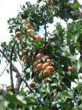 Albaricoques en un árbol imagenes de archivo