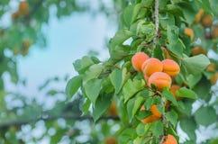 Albaricoques en una rama Albaricoques en árbol fotos de archivo
