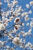 Albaricoques florecientes de la ramificación foto de archivo libre de regalías
