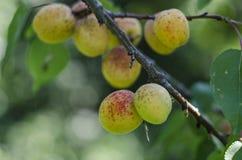 Albaricoques maduros rojos en la rama de árbol Foto de archivo