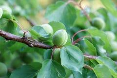 Albaricoques verdes en una rama Imagen de archivo libre de regalías