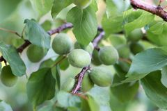 Albaricoques verdes en una rama Fotografía de archivo libre de regalías