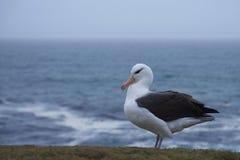 Albatro Black-browed - isole Falkalnd Fotografia Stock Libera da Diritti