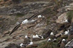 Albatro Black-browed - isole Falkalnd Immagini Stock