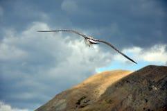 Albatro che sale sopra le estensioni della montagna. Immagini Stock Libere da Diritti