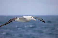 Albatro di vagabondaggio volante, albatro di Snowy, albatro Bianco-alato o Goonie, diomedea exulans, Antartide fotografia stock