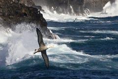 Albatro fluttuato - Espanola - isole di Galapagos Fotografie Stock