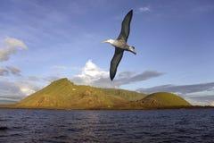 Albatro - isola di Isabella - isole di Galapagos Immagine Stock