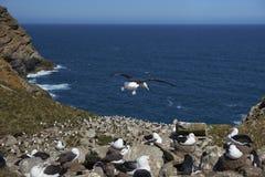 albatro Nero-browed e pinguini del sud di Rockhopper che annidano insieme Fotografia Stock