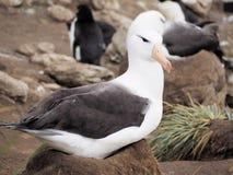 albatro Nero-browed su Malvinas Fotografie Stock Libere da Diritti