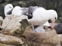 albatro Nero-browed su Malvinas Immagine Stock Libera da Diritti