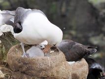 albatro Nero-browed su Malvinas Fotografia Stock Libera da Diritti