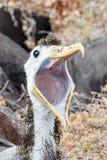 Albatro ondulato giovanile affamato in Galapagos immagine stock libera da diritti
