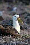 Albatro su Galapagos Fotografia Stock