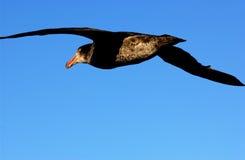 Albatros Stockbild