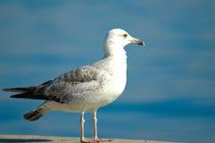 Albatros Fotografie Stock